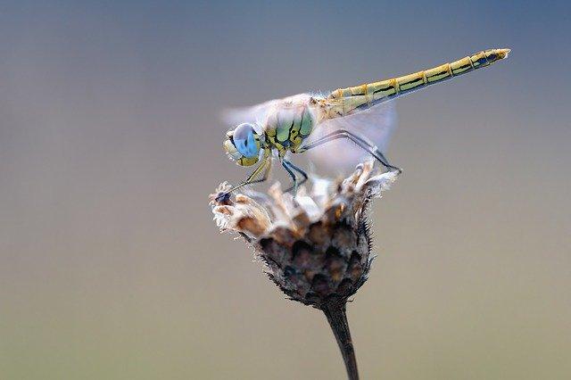 alerte extinction insectes libellule