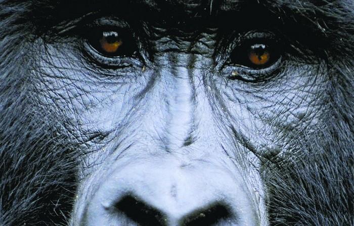 gorille coronavirus