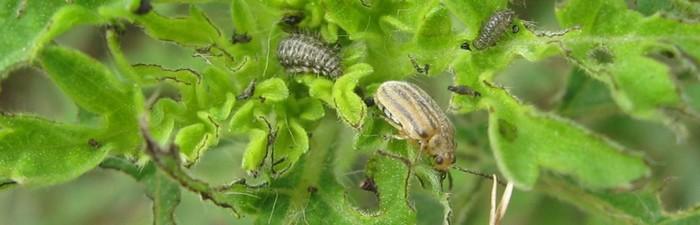 coleoptere pollen allergies