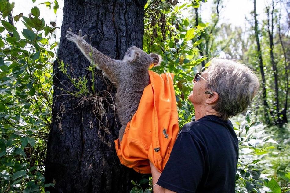 koala hospital hopital australie feu incendie destruction foret animaux marsupiaux marsupial