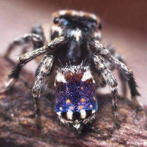 araignée-paon nouvelles espèces