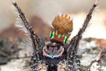 nouvelles espèces araignées-paons australie