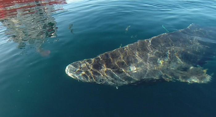 groenland requin