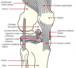 réparation ligament croisé échafaudage synthétique