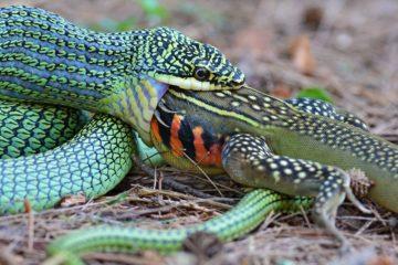 serpent proie