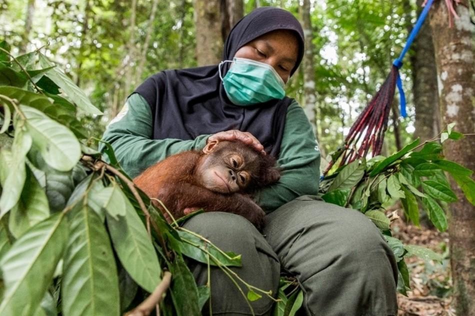 singes grand coronavirus pandemie risque infection