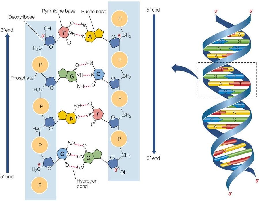 structure adn