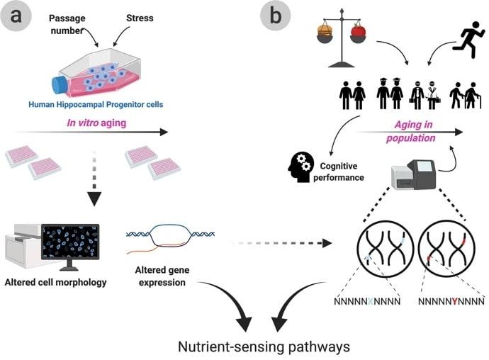 vieillissement genes