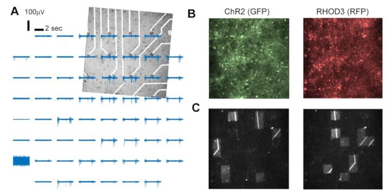 activité neuronale stimulation lumière