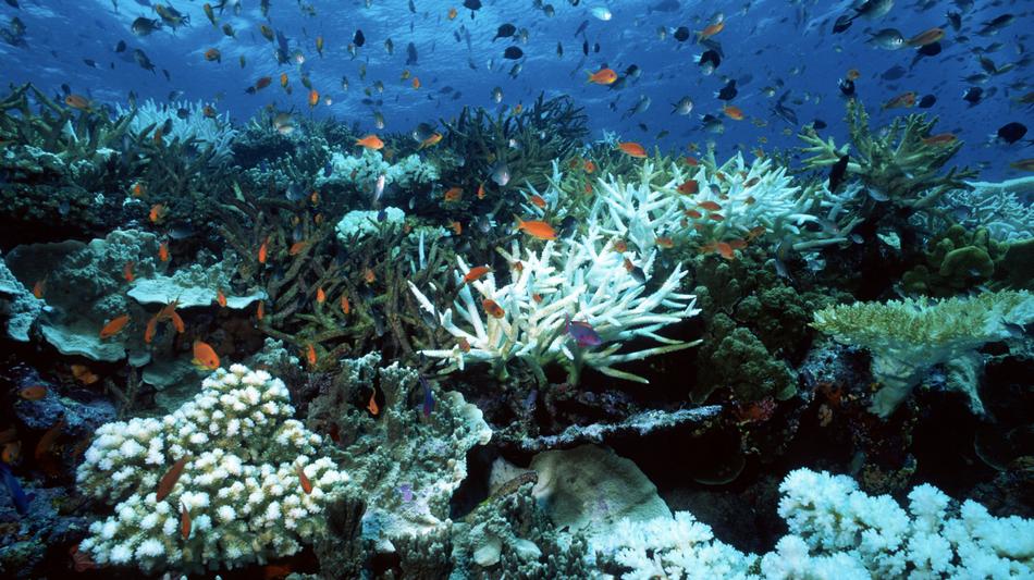 recif corail coraux blanchiment