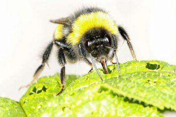 bourdon abeille insecte pollinisation réchauffement changement climatique climat pollen floraison fleur fleurir