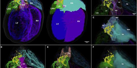 carte 3D système nerveux cœur rat