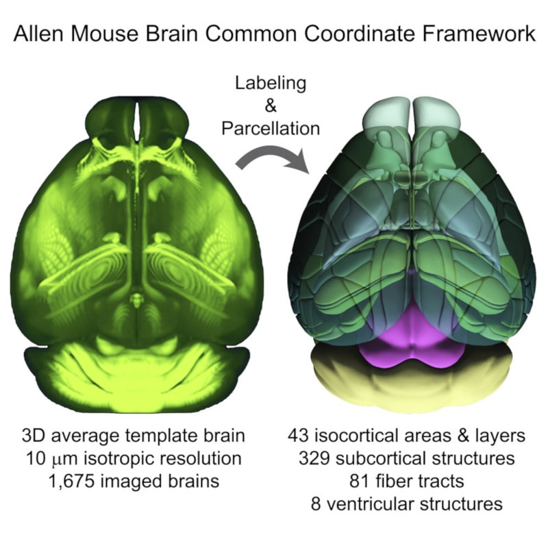 procédure cartographie cerveau souris tomographie