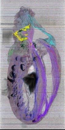 coupe système nerveux cœur rat
