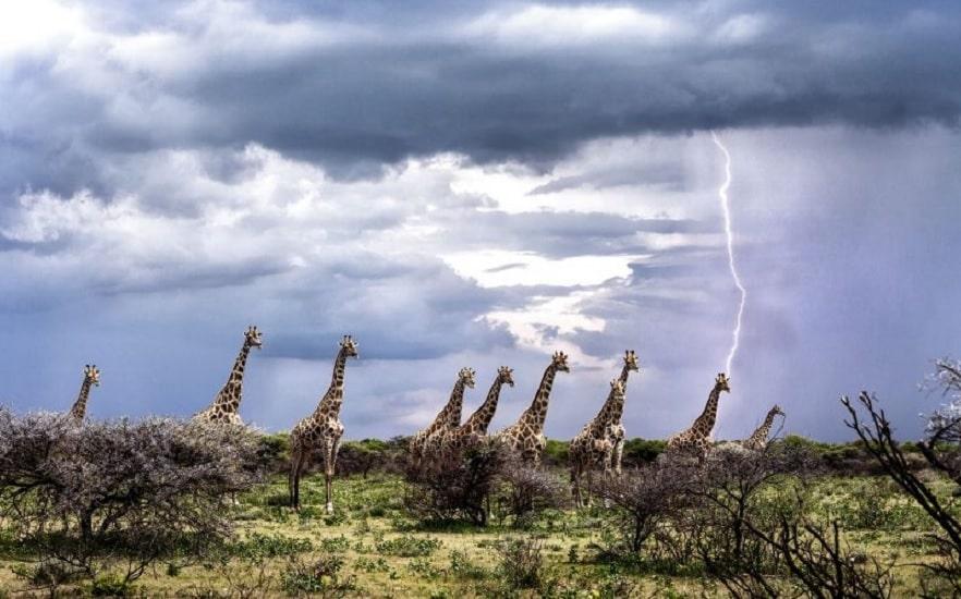 girafes foudre