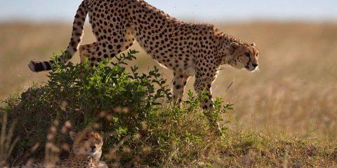 guepard saharien sahara etinction algerie alger
