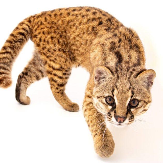 leopardus guigna espèce menacée Chili