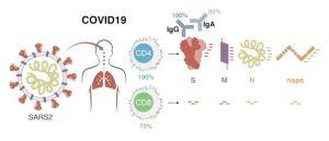 réponse immunitaire post-COVID-19