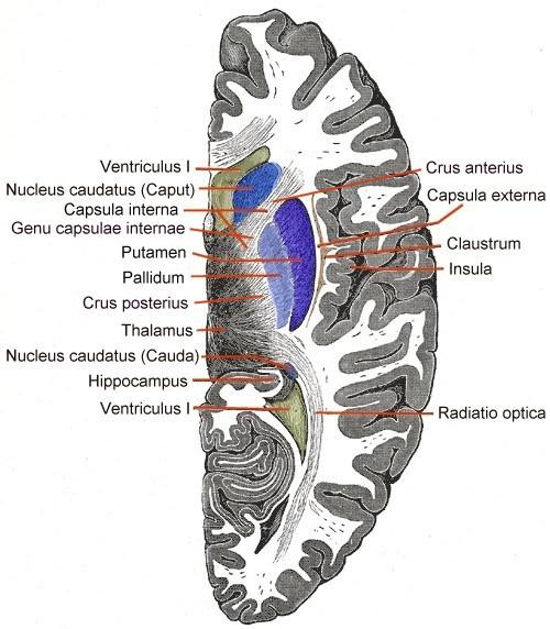 emplacement claustrum cerveau conscience