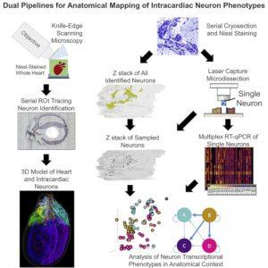 protocole carte 3D neurones cœur rat