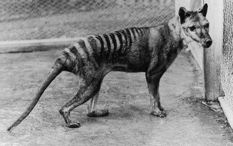 tigre tasmanie