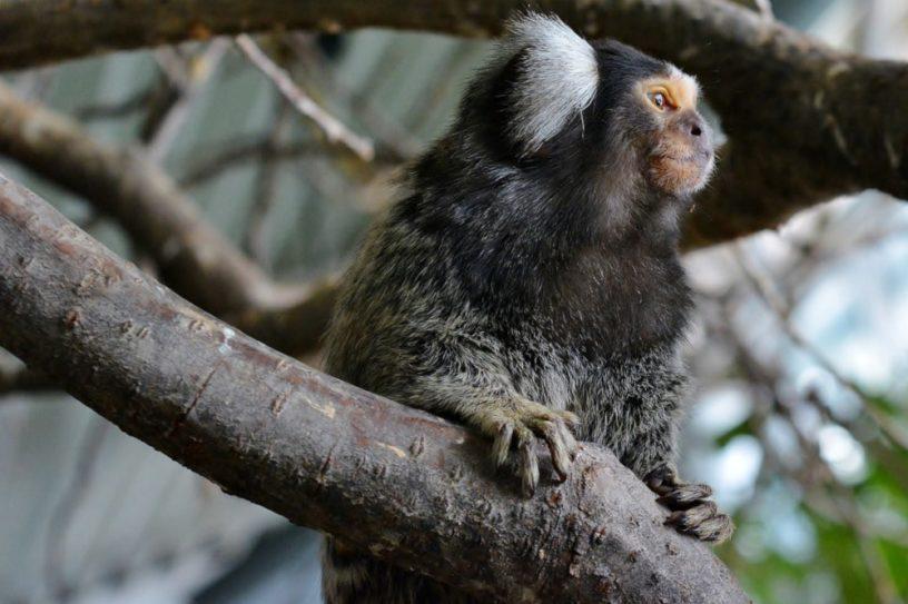 gène humain augmentation taille cerveau primates