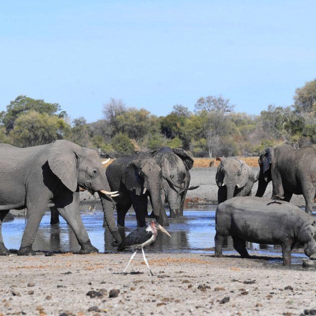 elephant eau botswana mort mystere