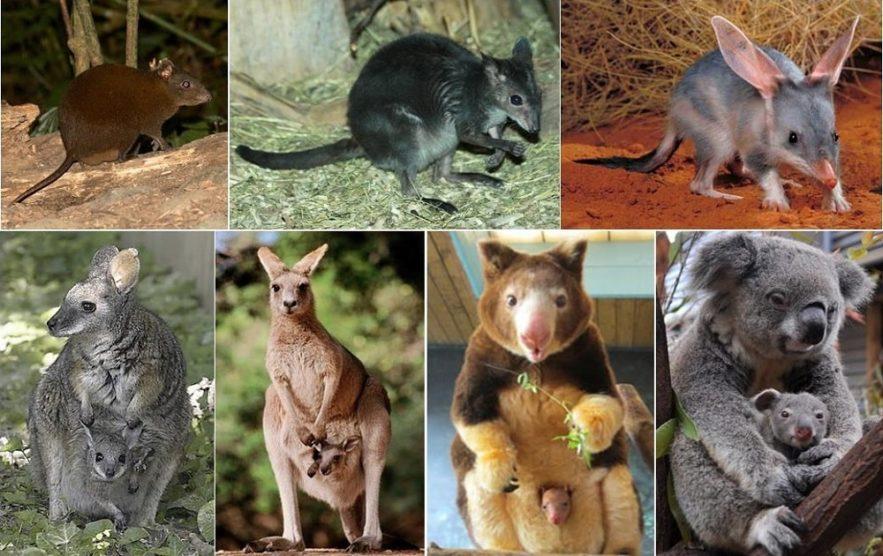marsupiaux australie