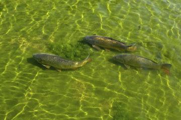 migration poissons intestins oiseaux
