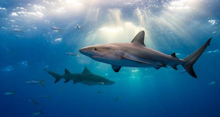 requins ocean