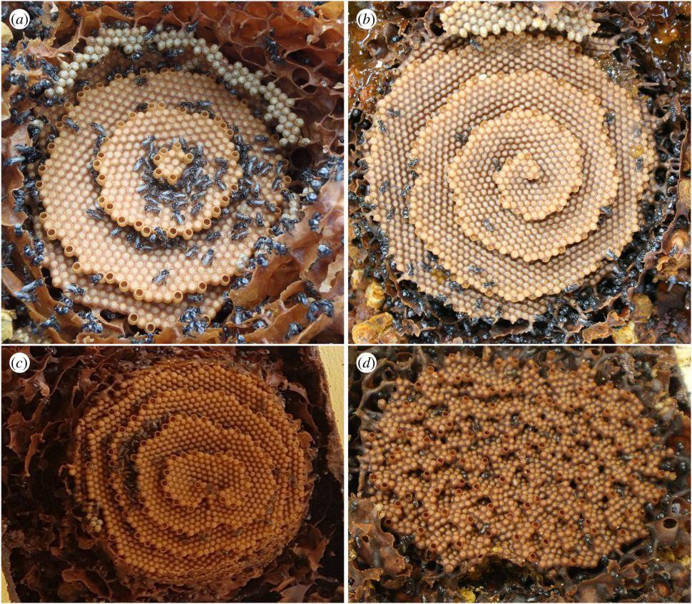 abeille rayon spirale