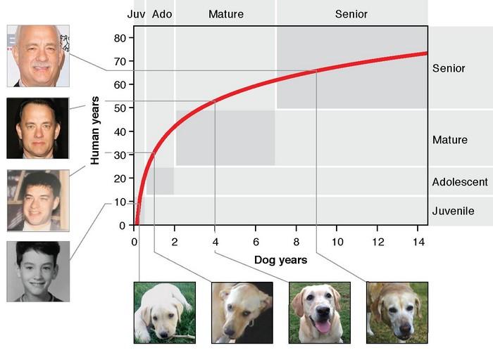 age chien labrador horloge