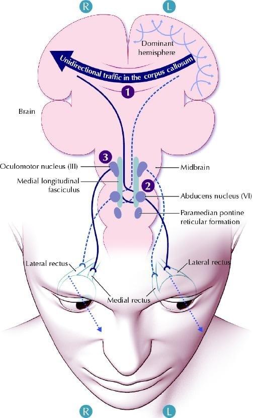 cerveau yeux