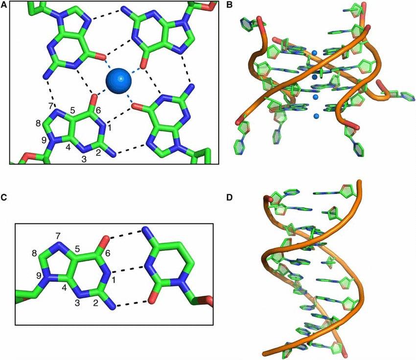 comparaison ADN quadruplexe G4 double helice