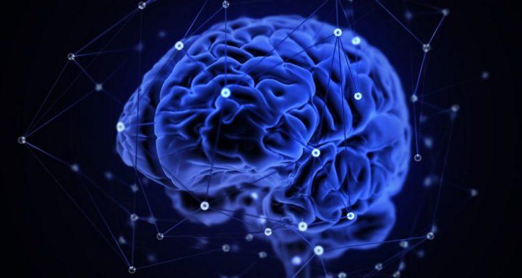 cerveau connectivite humain animaux mammiferes