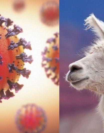 lama proteine pointe coronavirus