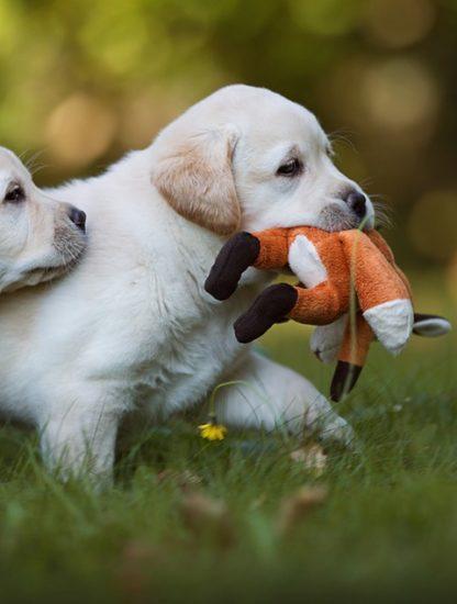 labrador retriever chien age