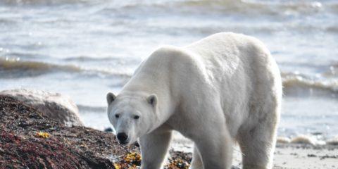 réchauffement climatique menace ours polaires