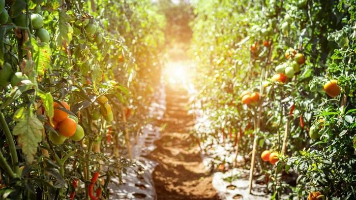 plant tomate communication plante signaux electriques