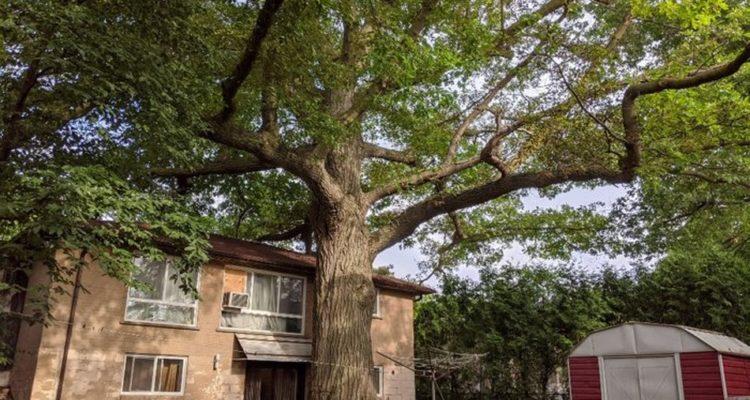 arbre canada chene rouge