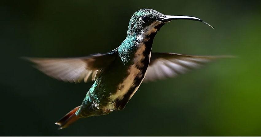 colibris bec
