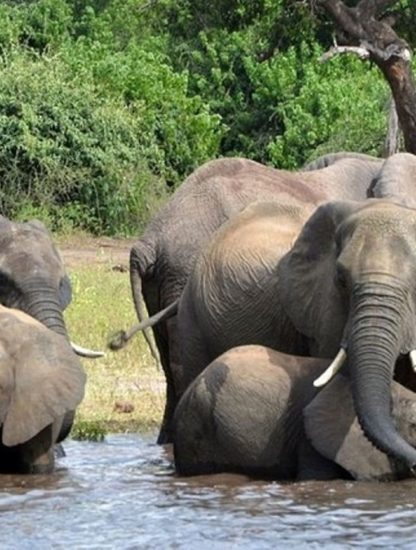 elephant mort botswana