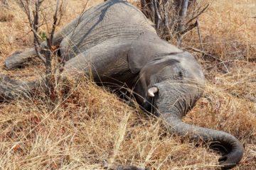 centaines éléphants morts Bostwana empoisonnement cyanobactéries couv