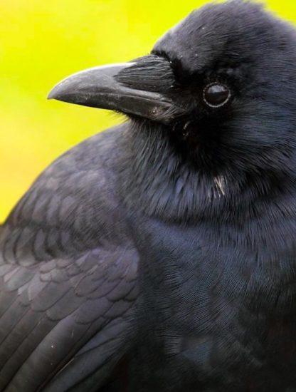 corbeaux conscience perception