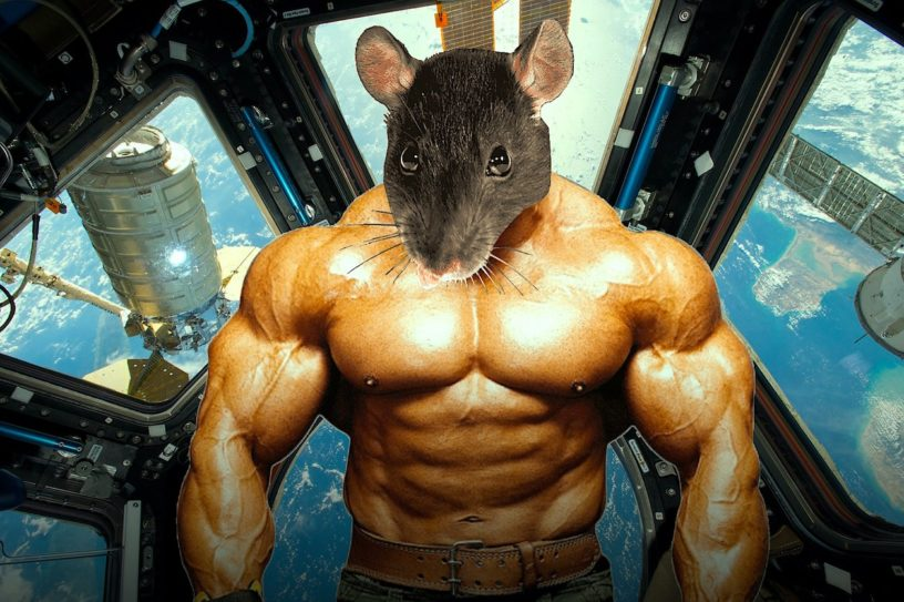 souris genetiquement modifiees ont conserve leur musculature apres sejour dans espace