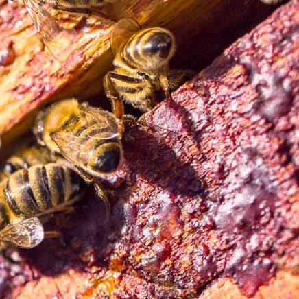 substances anticancereuses identifiees propolis rouge bresilienne