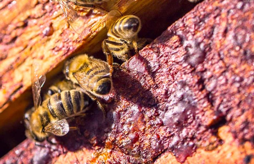substances anticancereuses identifiees propolis rouge bresilienne