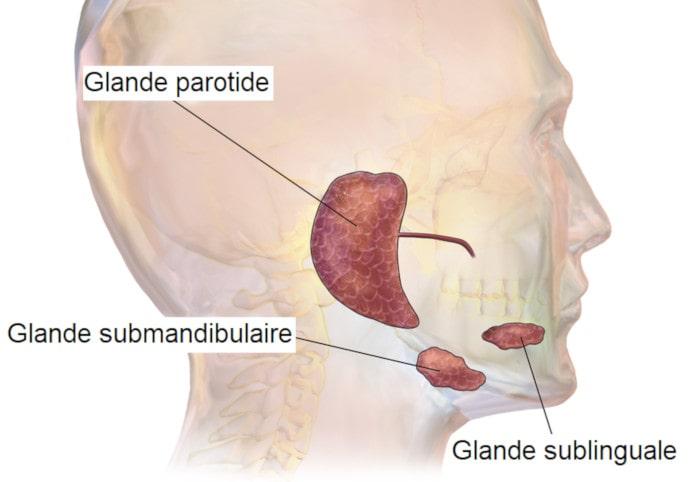 glandes salivaire principales