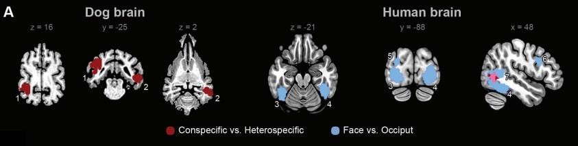 image cerveaux IRM humain chien réponse visage tête