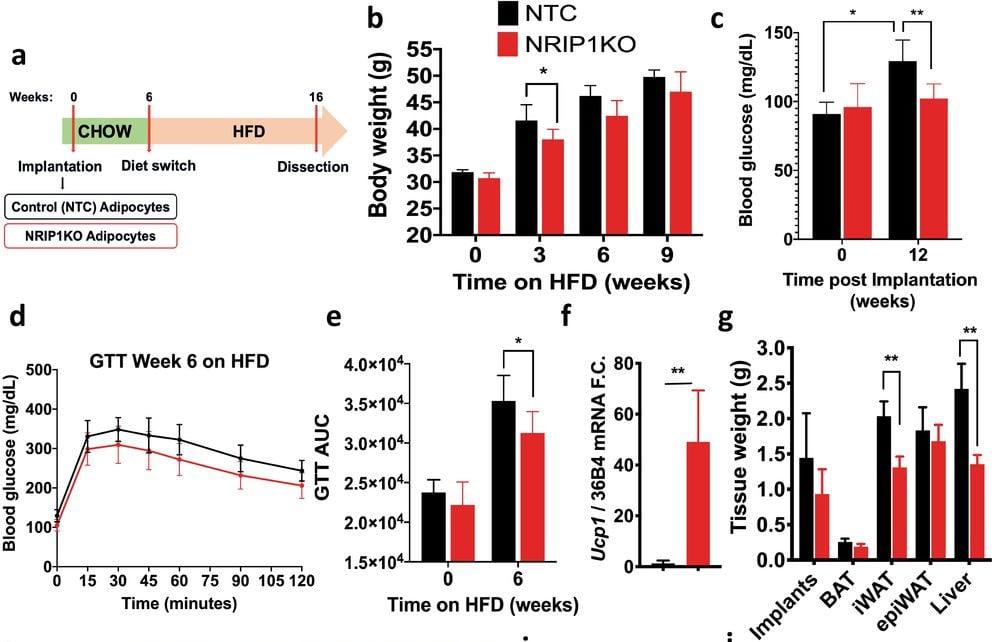 modification génétique cellules graisses souris